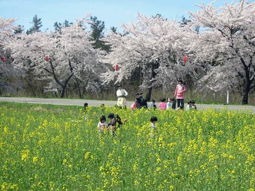 ハーブ通りの桜並木と菜の花畑