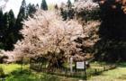 観_葛岡のカスミ桜