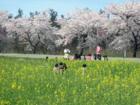 観_ハーブ通りの桜並木