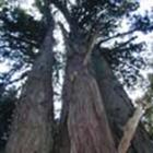 観_法内の八本杉